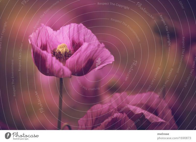 ** Eyecatcher ** Mohn elegant Stil Natur Pflanze Sommer Schönes Wetter Blume Blatt Blüte Mohnfeld Klatschmohn Mohnblüte Blütenstempel Mohnkapsel Feld