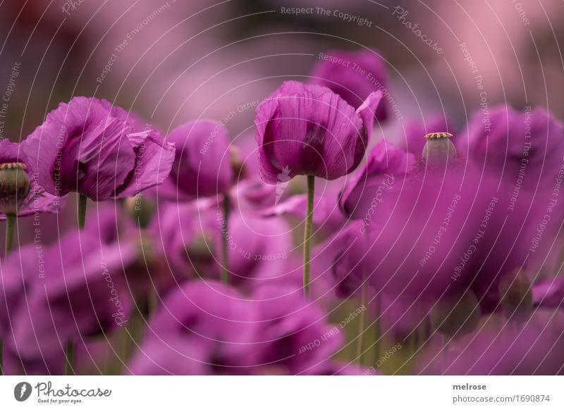 M O H N - feld Mohn elegant Stil Natur Pflanze Sommer Schönes Wetter Blatt Blüte Wildpflanze Mohnfeld Mohnblüte Klatschmohn Mohnkapsel Blütenstiel Feld Farbe
