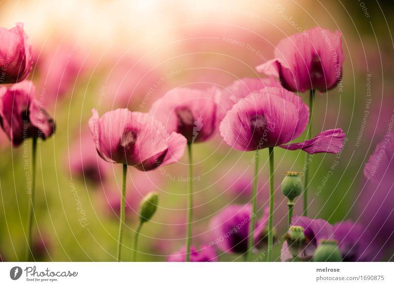 Wochenends-MOHN Natur Pflanze Farbe Sommer grün Blume Blatt Blüte Stil außergewöhnlich rosa Feld leuchten elegant gold Blühend