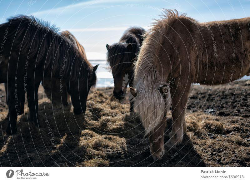 Pferde in Island Himmel Natur Ferien & Urlaub & Reisen schön Landschaft Tier Umwelt Leben Wiese natürlich Gras Erde wild Wetter Behaarung Insel