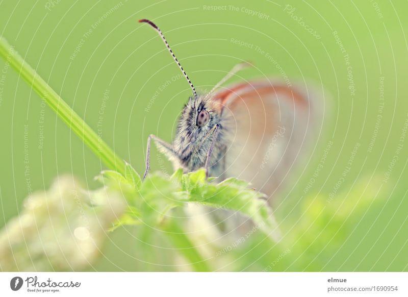 im Fokus Natur Tier Pflanze Park Wiese Wildtier Schmetterling Fühler Facettenauge Tagfalter beobachten Blick warten frei hell klein grün Glück Zufriedenheit