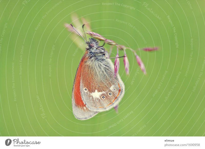 Hängepartie Natur Tier Gras Schmetterling Tagfalter Edelfalter Heufalter Wiesenvögelchen Fühler Flügel Erholung hängen ästhetisch elegant frei klein schön grün