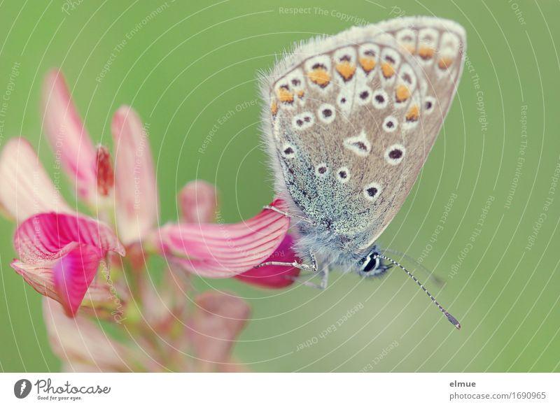 süße Versuchung Natur Pflanze Tier Blüte Knabenkraut Nektar Park Wiese Wildtier Schmetterling Bläulinge maskulin Edelfalter Tagfalter Fühler Blühend Fressen