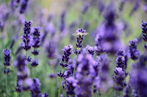 Sommerlustgarten Pflanze Schönes Wetter Blume Blüte Nutzpflanze Lavendel Garten Nutztier Biene 1 Tier Blühend Duft entdecken Erholung fliegen genießen leuchten