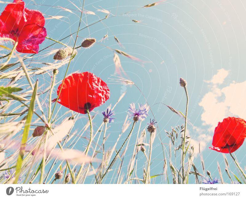 An einem Mohntag im Sommer... V Natur Pflanze Himmel Wolken Sonne Schönes Wetter Wärme Blume Feld Blick Wachstum frei Unendlichkeit hell natürlich blau grün rot