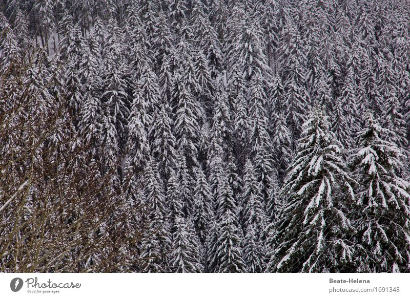 weißer Schwarzwald Winter Klima Wetter Eis Frost Schnee Wald ästhetisch frisch schwarz Zufriedenheit ruhig Schutz stagnierend Stimmung Schneefall Tanne