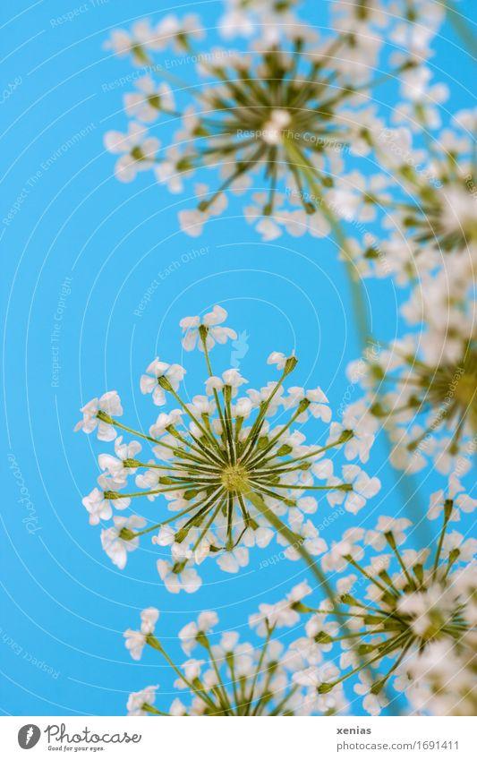 weiße Fenchelblüte vor blauem Hintergrund Doldenblüte Kräuter & Gewürze Ernährung Essen Gesundheit Alternativmedizin Blüte grün Blick nach oben Bioprodukte