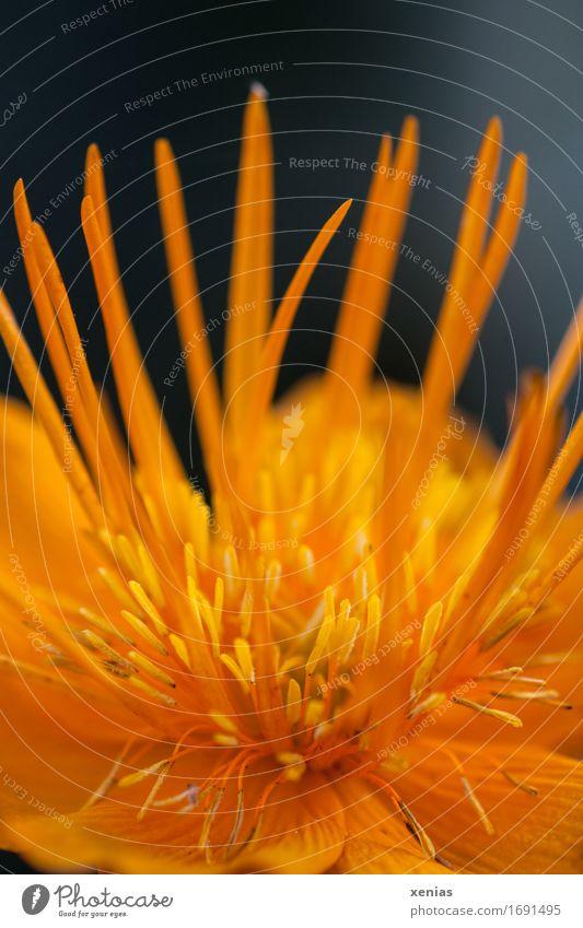 Makroaufnahme einer gelben Trollblume vor schwarzem Hintergrund Staubblatt Blume Blüte orange Fruchtblätter Hahnenfußgewächse Blühend Garten Park Butterblume