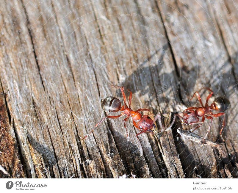 treffen sich zwei... Natur Baum rot Tier schwarz Holz braun Feld wild Wildtier Tierpaar paarweise Insekt Verabredung Ameise Holzstruktur