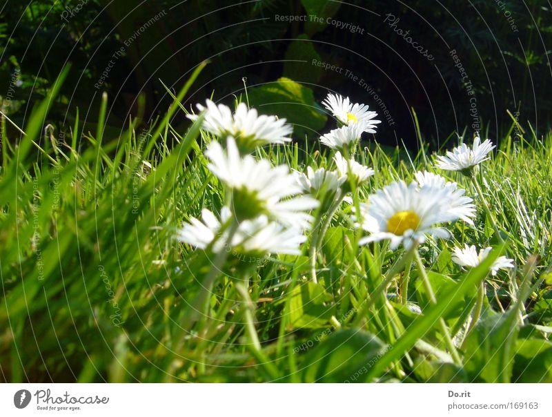 ein paar Blümchen für Sara schön Sommer Blume Leben Wiese Gras natürlich Wachstum mehrere Lebensfreude rein himmlisch Gesellschaft (Soziologie) Geborgenheit Gänseblümchen atmen