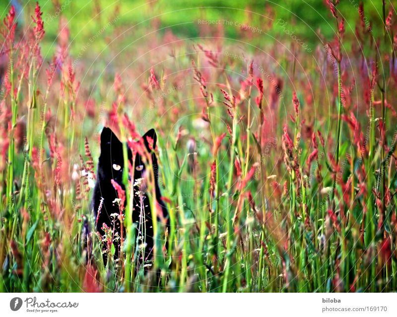 Warten auf die Maus Natur grün schön rot Pflanze schwarz Tier gelb Wiese Landschaft Umwelt Katze Kraft Geschwindigkeit wild Macht