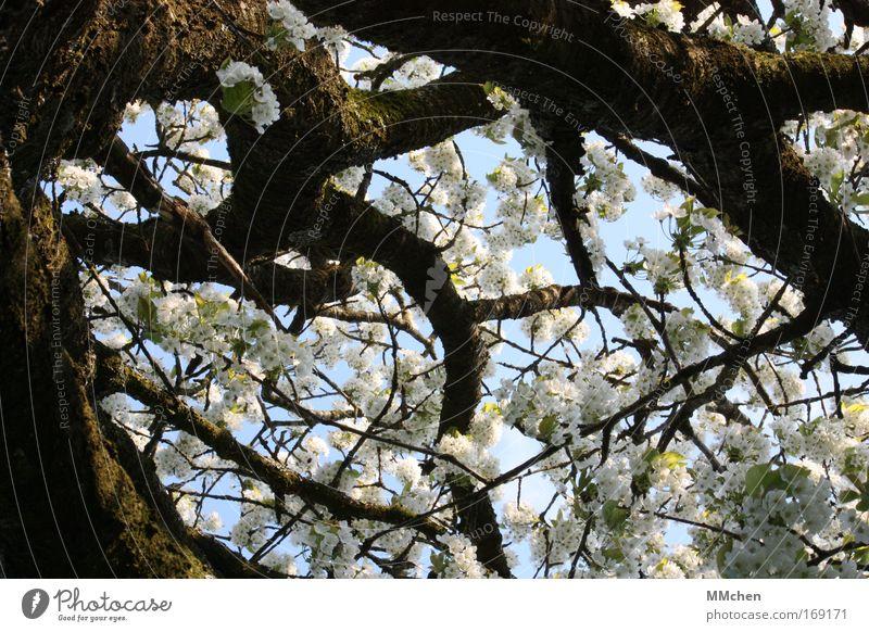 Picknick unter`m Kirschbaum Natur Himmel weiß Baum ruhig Erholung Wiese braun Lebensmittel Umwelt Frucht Wachstum Tourismus Freizeit & Hobby Klima Gelassenheit