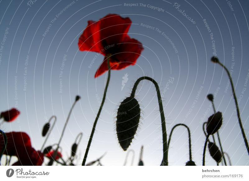 poppy Farbfoto Außenaufnahme Menschenleer Sonnenaufgang Sonnenuntergang Natur Wolkenloser Himmel Sommer Schönes Wetter Pflanze Blüte Mohn Mohnblüte Feld schön