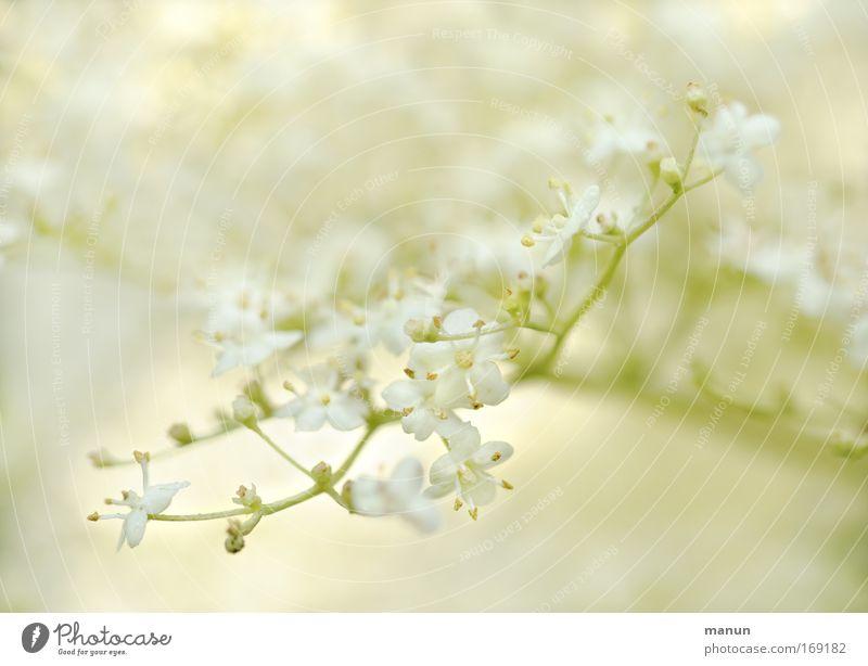 white elder Natur schön Sommer weiß gelb Leben Frühling Blüte Gesundheit Lebensmittel Design Zufriedenheit Sträucher genießen Wohlgefühl Bioprodukte