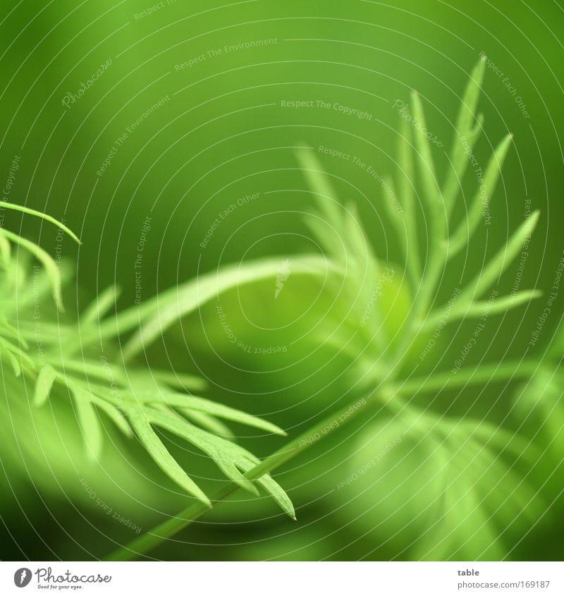 Dill Farbfoto Makroaufnahme Textfreiraum oben Lebensmittel Gemüse Kräuter & Gewürze Gesundheit Duft Garten Küche Handel Umwelt Pflanze Nutzpflanze frisch
