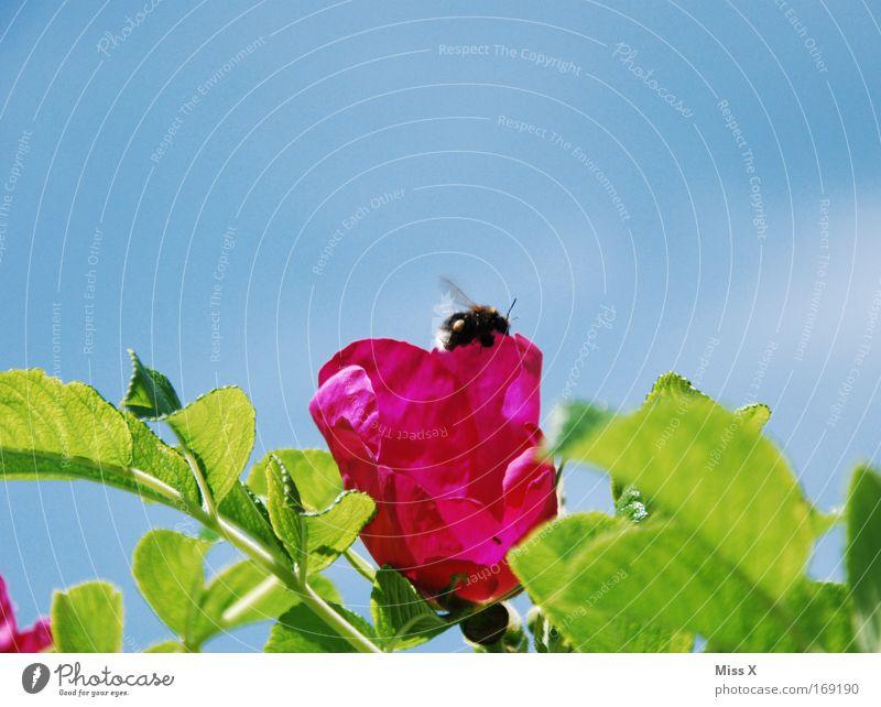 Hummel Hummel Farbfoto mehrfarbig Außenaufnahme Nahaufnahme Umwelt Natur Rose Garten Park Wiese Wildtier Flügel 1 Tier fliegen krabbeln fleißig Ausdauer
