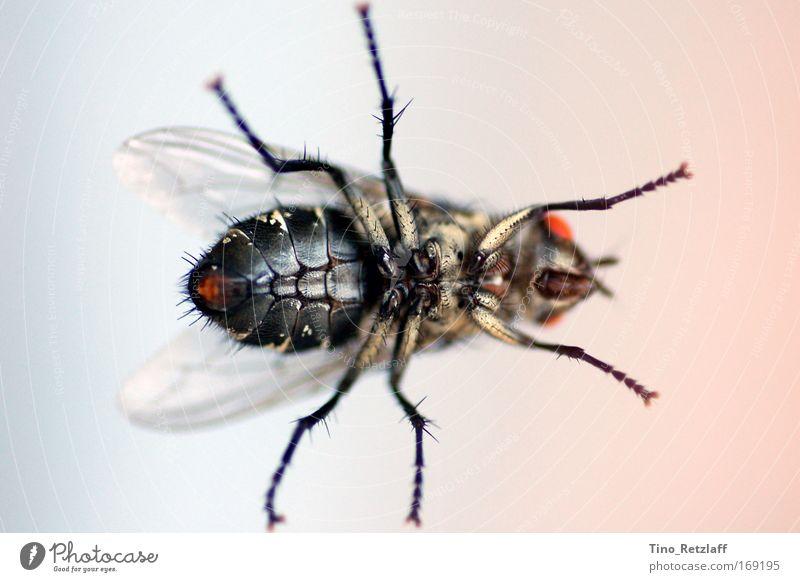 Fliege Farbfoto Makroaufnahme Flügel 1 Tier fliegen krabbeln sitzen Tierliebe entdecken Einblicke Unterboden mächtig