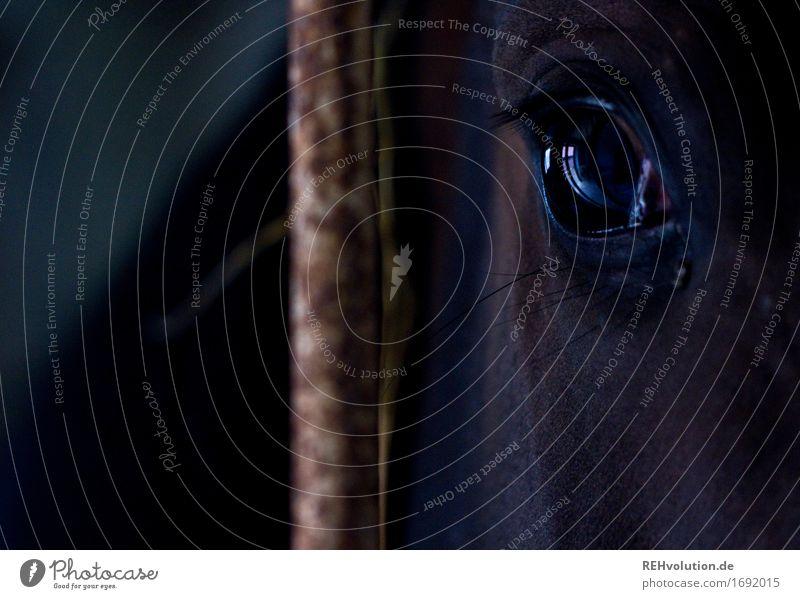 schwarzsehen | Pferdeauge Reitsport Auge Tier Nutztier 1 dunkel Gefühle Stimmung Verantwortung achtsam Angst gefährlich Nervosität Respekt Schüchternheit Stall