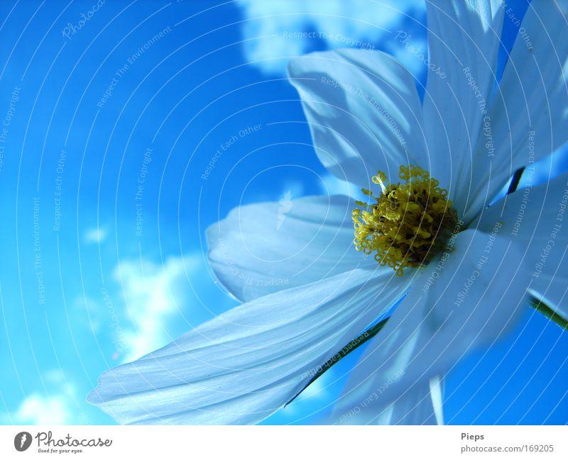 Gib mir Sonne Himmel weiß Blume blau Pflanze Wolken Blüte Frühling Vergänglichkeit Blühend Schönes Wetter Blütenblatt Frühlingsgefühle Schmuckkörbchen Pfingsten