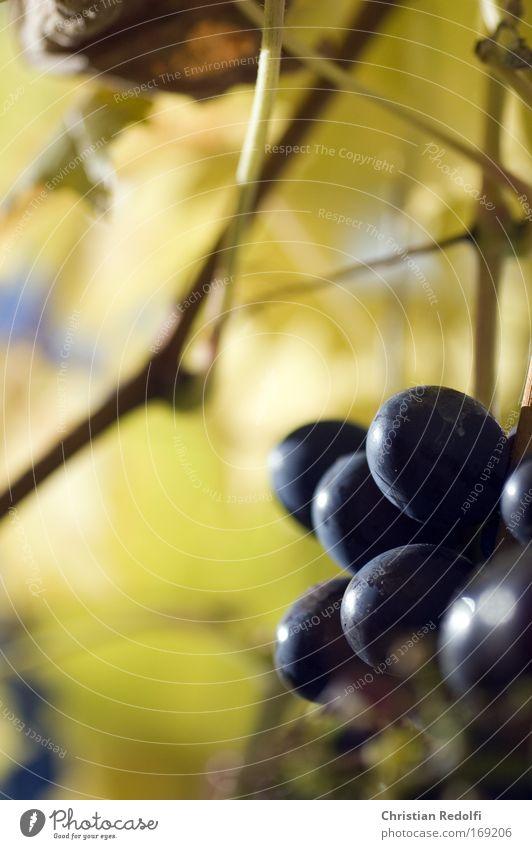 Weintraube Ast Weintrauben Frucht weinfrucht Pflanze Garten Weinbau Winzer Herbst weinerzeugung Ernährung