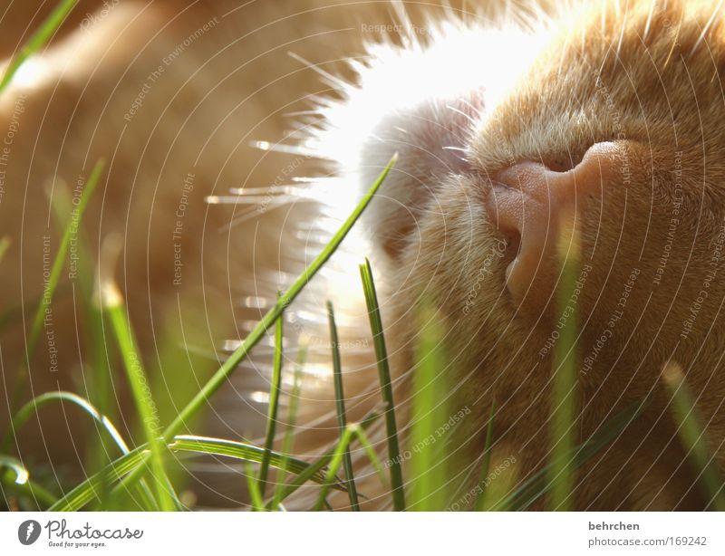 kleiner liebling Katze schön Gras Zufriedenheit genießen Nase Gelassenheit Wohlgefühl Fell Halm Haustier Hauskatze kuschlig Schnauze Tierliebe Streicheln