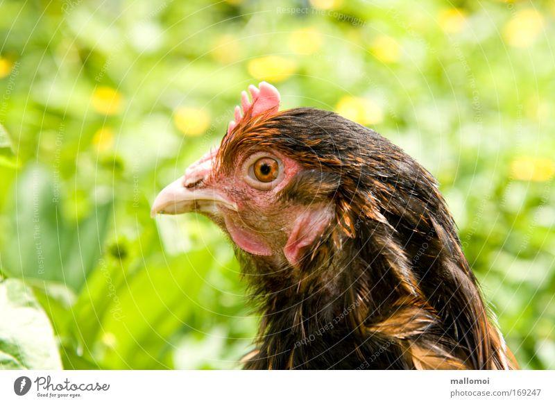 Freund oder Feind? Haustier Nutztier Blick Kamm Schnabel Auge beobachten fixieren Wiese bewegungslos Wachsamkeit Kehllappen Federvieh Haushuhn Bodenhaltung