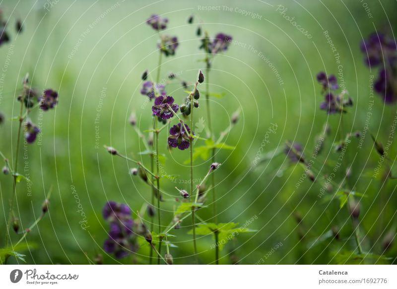 Brauner Storchschnabel Umwelt Natur Pflanze Wassertropfen Sommer Blume Wildpflanze Wiesenblume Feld Blühend Wachstum glänzend schön nass natürlich blau braun