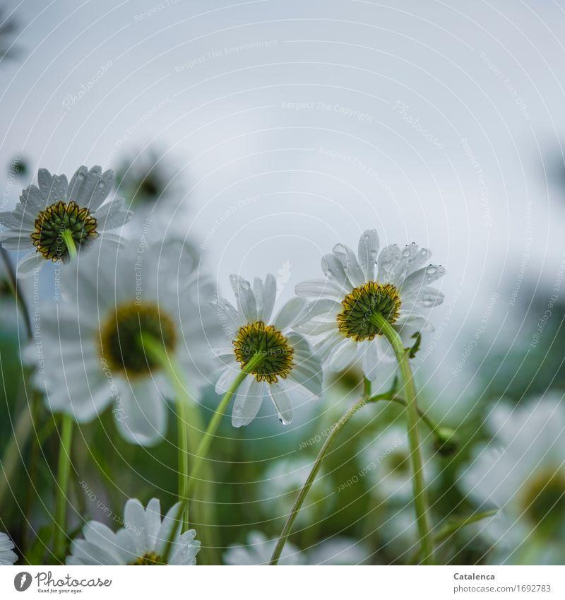 Im Regen stehen Natur Pflanze Sommer grün weiß Blume gelb Blüte Wiese grau Regen glänzend Wachstum elegant Wassertropfen Blühend
