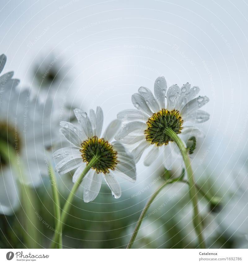 Er liebt mich ... Natur Pflanze Wassertropfen Sommer Klima schlechtes Wetter Regen Blume Blüte Margerite Feld Blühend Duft Wachstum ästhetisch einfach nass gelb