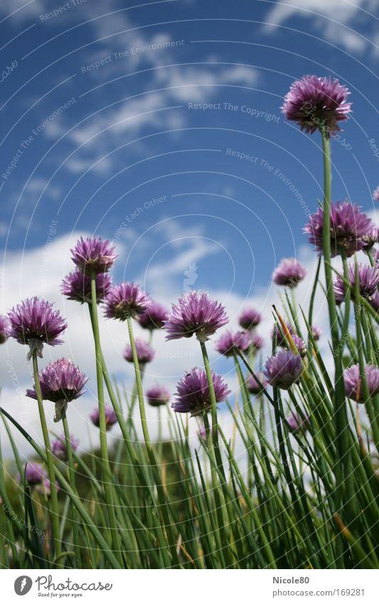 Blüten mit Zwiebelduft Farbfoto Außenaufnahme Nahaufnahme Textfreiraum oben Tag Froschperspektive Lebensmittel Kräuter & Gewürze Umwelt Natur Pflanze Blume
