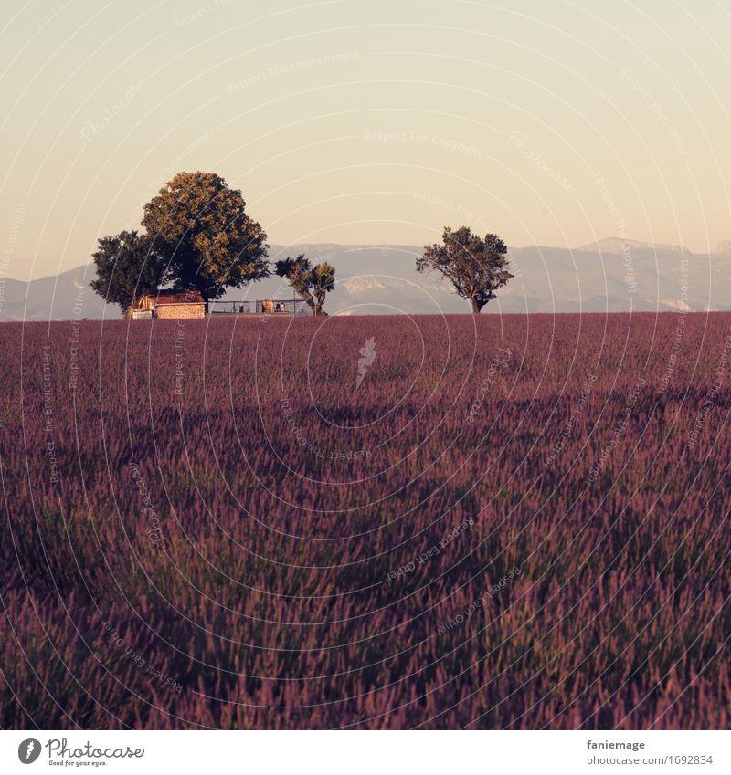 idyllique Natur Landschaft Schönes Wetter Feld schön Lavendelfeld Valensole Abenddämmerung violett Wärme Sommerabend Landwirtschaft Berge u. Gebirge Baum Idylle