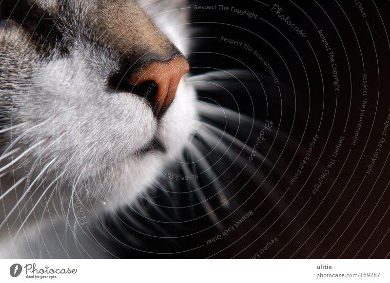 Rote Nase schön weiß ruhig schwarz Tier Katze Stimmung warten glänzend ästhetisch einzigartig Gelassenheit entdecken genießen Haustier geduldig