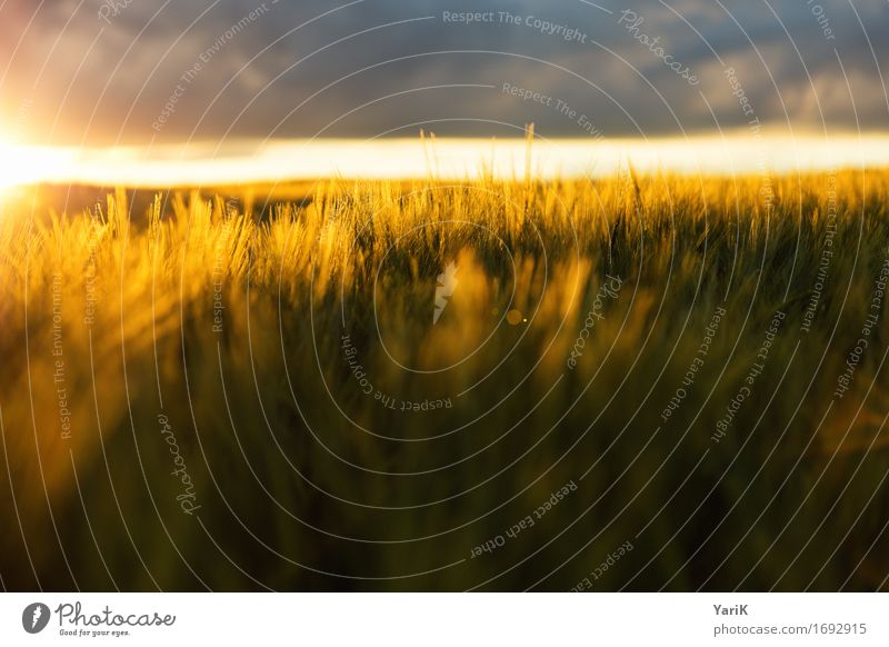 soft orange Umwelt Natur Landschaft Himmel Wolken Gewitterwolken Sonne Sonnenuntergang Sommer Klima Klimawandel Wetter Unwetter Wind Wiese Feld gold Wärme