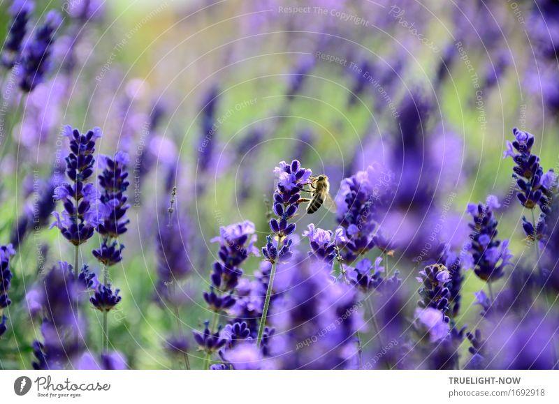 Flauschig | ...im Lavendelrausch Natur Pflanze Sommer grün Blume Blatt Tier Wärme Blüte natürlich Garten braun Park frisch gold Fröhlichkeit