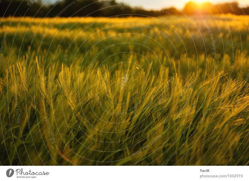 Kellogs Umwelt Natur Landschaft Himmel Wolken Gewitterwolken Sonne Sonnenuntergang Sommer Klima Klimawandel Wetter Unwetter Wind Wiese Feld gold Wärme