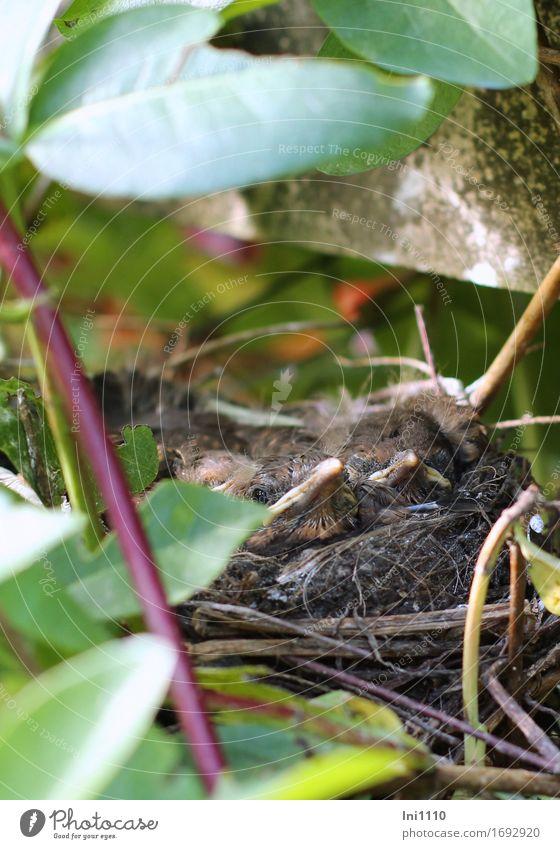 Vogelnest Umwelt Natur Pflanze Tier Sommer Blatt Wildpflanze Garten Park Wildtier Tiergesicht Amsel 4 Tierjunges warten Gesundheit natürlich braun mehrfarbig
