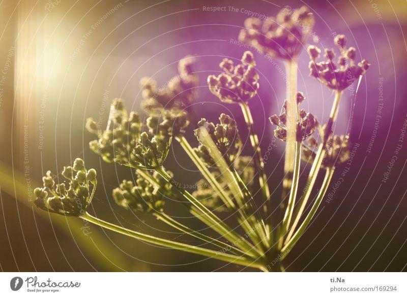 ich will Sonne oder Augen zu und knips Teil II Umwelt Natur Landschaft Pflanze Frühling Blüte Wildpflanze Blütenkelch Blütenknospen Blütenstiel Giersch