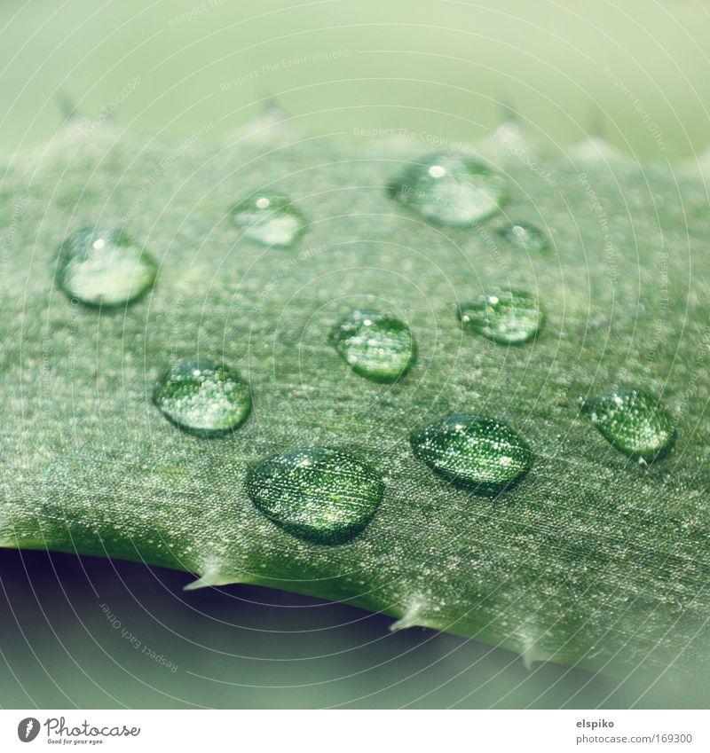 Blister III Wasser schön weiß grün Wassertropfen ästhetisch nah saftig stachelig