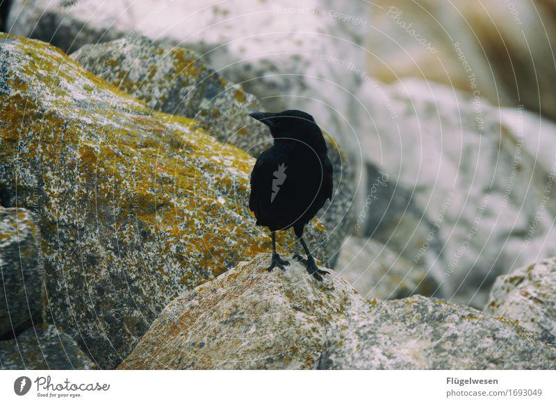 Tiere in Amerika [2] Rabenvögel Krähe Vogel USA Nationalpark fliegen Freiheit schwarz steinig Felsen warten sitzen Schnabel Feder Flügel Blick Einsamkeit