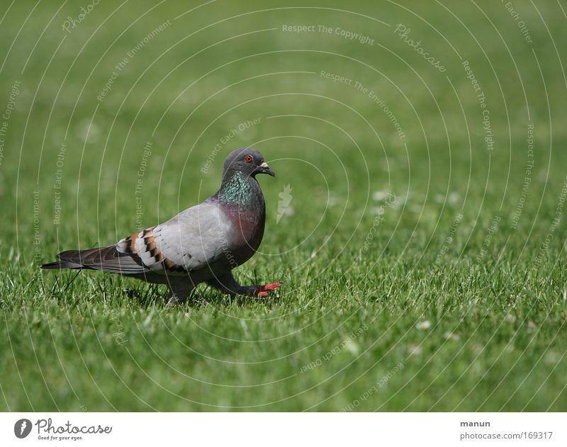 a walk in the park blau grün schön Sommer Tier Farbe ruhig Umwelt Wiese grau Gras klein Park Vogel Zufriedenheit gehen