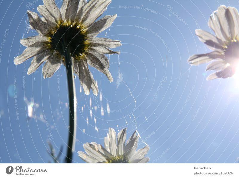 büschen eingestaubt Natur blau Pflanze Blüte Feld Umwelt Tee Blühend Schönes Wetter Netz Spinnennetz Lebensmittel Kamille Heilpflanzen Wolkenloser Himmel