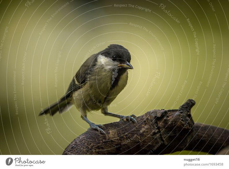 junge Kohlmeise Natur Tier Baum Garten Park Wald Wildtier Vogel Flügel 1 Tierjunges beobachten sitzen authentisch Freundlichkeit braun gelb grün schwarz