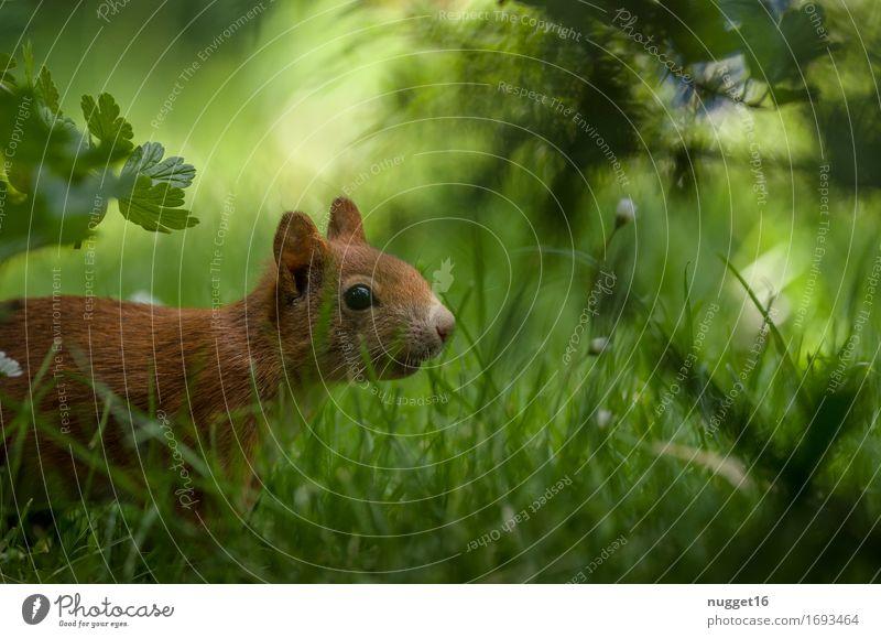 Vorsichtig anpirschen, vielleicht sieht er mich ja nicht ... Natur Tier Gras Garten Park Wiese Wald Wildtier Tiergesicht Fell Eichhörnchen 1 beobachten Bewegung