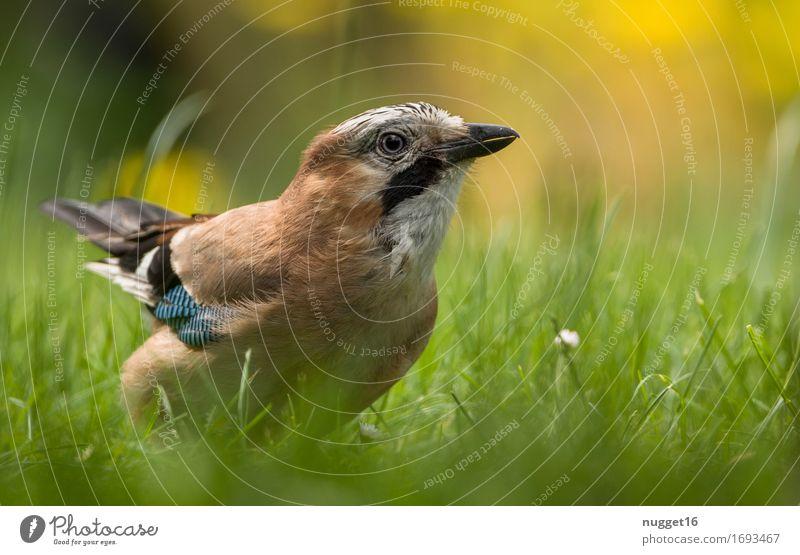 Eichelhäher Tier Gras Garten Park Wiese Wildtier Vogel Flügel 1 beobachten fliegen ästhetisch authentisch frech blau braun gelb grün orange schwarz weiß
