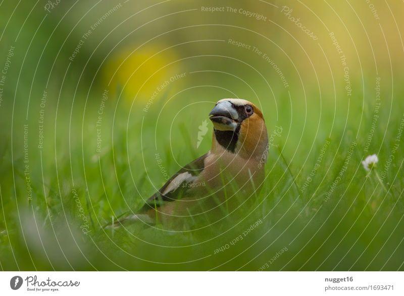 Kernbeißer grün Blume Tier schwarz gelb Wiese Gras Garten Vogel braun orange Park Wildtier ästhetisch Neugier frech