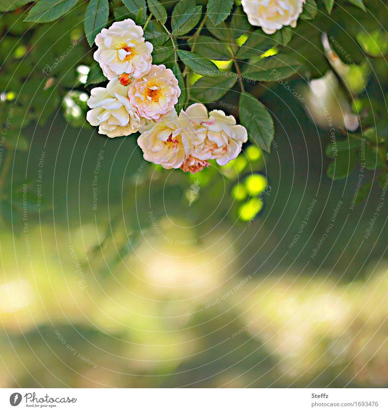 sommerliche Impression mit Rosen Rosenstrauch Rosenduft sonniger Tag sonniger Sommertag Blume Rosenblätter Rosenblüte Sommerblumen blühende Rosen Romantik