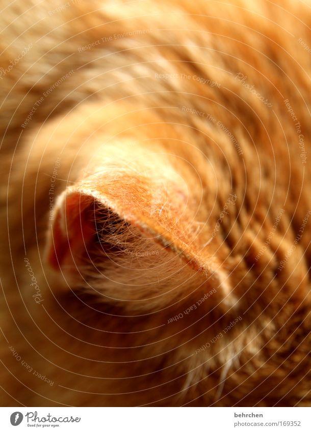 lauschangriff Farbfoto Nahaufnahme Detailaufnahme Haustier Katze Fell Ohr Tierliebe Hauskatze hören Liebling lieblingstier genießen Schnurren Wohlgefühl