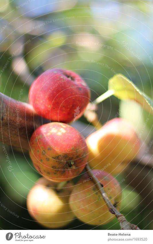Alles Bio Lebensmittel Frucht Apfel Lifestyle Gesundheit Natur Pflanze Herbst Baum entdecken Essen frisch gelb grün rot Biologische Landwirtschaft Ernte