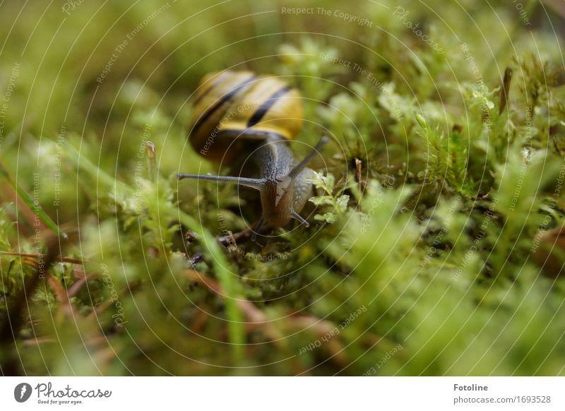 anschleichen Umwelt Natur Pflanze Tier Sommer Gras Moos Garten Park Wiese Schnecke 1 klein nah nass natürlich gelb grün Schneckenhaus schleimig krabbeln Fühler