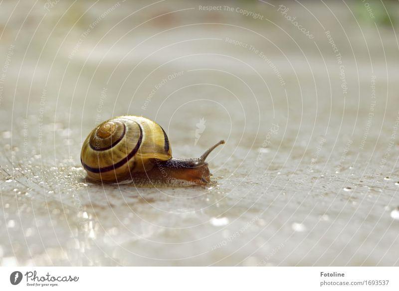 Schneckenwanderung Umwelt Natur Tier Urelemente Erde Wasser Wassertropfen Sommer Regen 1 klein nah nass natürlich braun gelb Schneckenhaus Fühler krabbeln